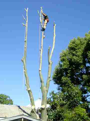 Tricky Torelliana tree lopping Toowoomba